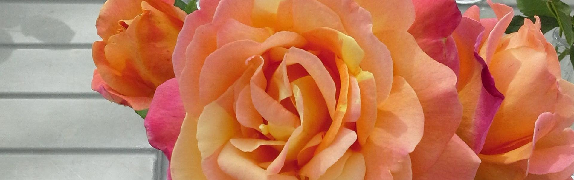Billedresultat for orange roser